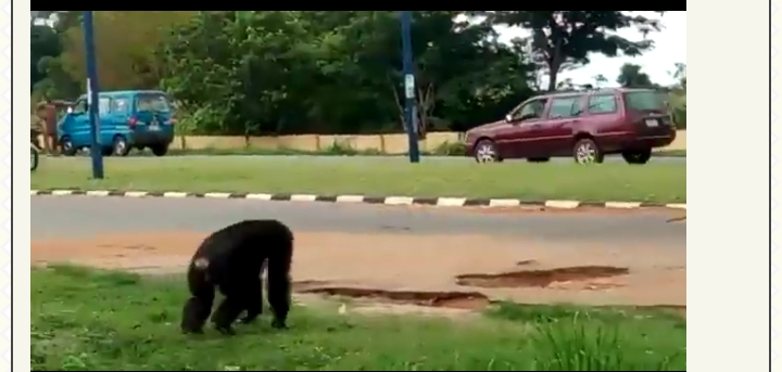 Video Of Gorilla Escaping University Of Ilorin Zoo