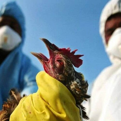 Breaking: Bird Flu Hits Kano, Plateau, 5 Other Nigerian States